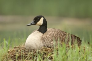 Canada Goose (Branta canadensis) Sitting on Nest